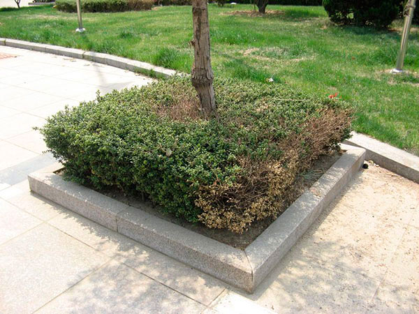 五莲花树坑石